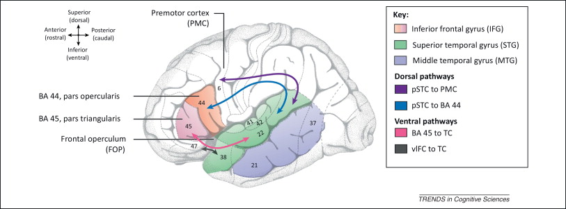 APPROACH TO TRAINING- Brain and Language: Bilingualism: The Neural Basis of Processing More than One Language